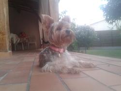 Ioka, chien Yorkshire Terrier