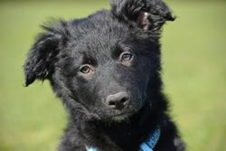 Ioko, chien Border Collie