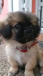 Ioko, chien Pékinois