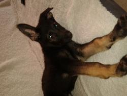 Ioko, chien Berger allemand