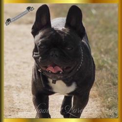 Ioko Du Domaine De Cateline, chien Bouledogue français