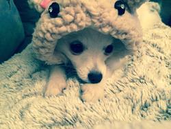 Ioko, chien Spitz allemand