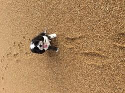 Ioko, chien Terrier tibétain