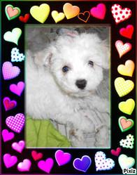 Ioko, chien Bichon à poil frisé