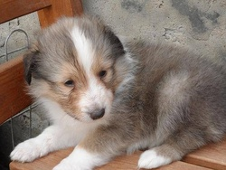 Ioko, chien Berger des Shetland