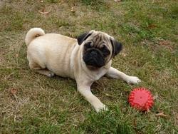 Ioko, chien Carlin