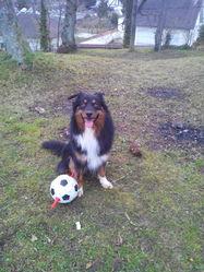 Ioko, chien Berger australien
