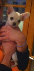Ioko, chien Chihuahua