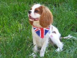 Ioko, chien Cavalier King Charles Spaniel