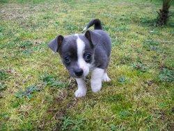 Ioky, chien Chihuahua