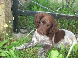Ioldy, chien Petit Münsterländer