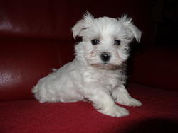 Ioline, chien Bichon maltais