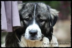 Iolka, chien Berger du Caucase