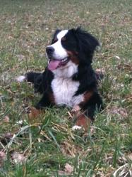 Iolka, chien Bouvier bernois