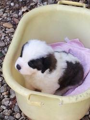 Ioltan, chien Saint-Bernard