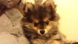 Iona, chien Spitz allemand