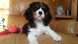 Iona, chien Cavalier King Charles Spaniel