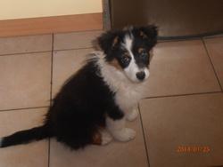 Iona, chien Berger australien