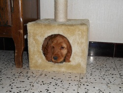 Iona, chien Cocker anglais