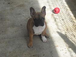 Iona, chien Bouledogue français