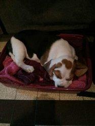 Iona, chien Beagle