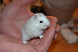 Iona, rongeur Hamster