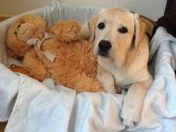 Iona, chien Labrador Retriever