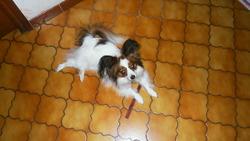 Iona, chien Épagneul nain continental