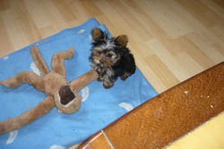 Iona, chien