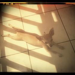 Iona, chien Chihuahua