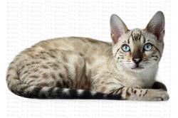 Ionyx, chat Bengal