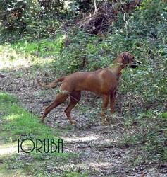 Ioruba Des Terres Lointaines, chien Rhodesian Ridgeback
