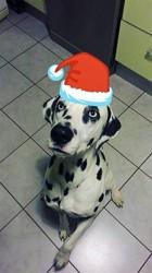 Ioryx, chien Dalmatien
