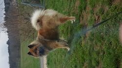 Ioshi, chien Eurasier