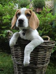 Iosis, chien Beagle
