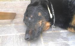 Ioty Décédé, chien Beauceron