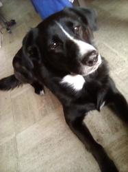 Ioucki, chien Labrador Retriever