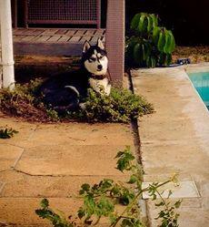 Iouka, chien Husky sibérien