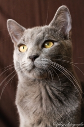 Iouki, chat Chartreux