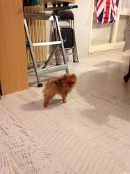 Iouki, chien Spitz allemand
