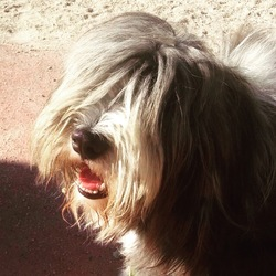 Iouki, chien Bearded Collie