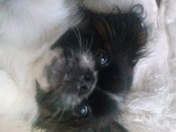 Ioukie, chien Pékinois
