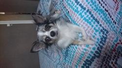Iouky, chien Chihuahua