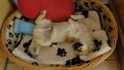 Iouky, chien Épagneul tibétain