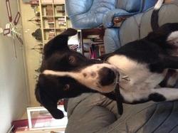 Iouky, chien Border Collie
