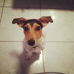 Iouky, chien Jack Russell Terrier