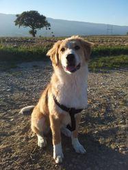 Iouna, chien Mâtin des Pyrénées