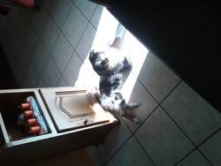 Ioundy, chien Berger australien