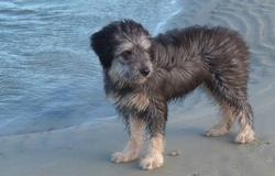 Ioupi, chien Berger des Pyrénées