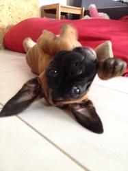 Ioupi, chien Boxer